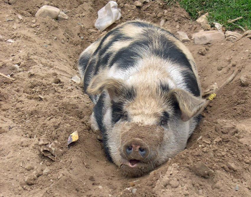 Peruvian pig