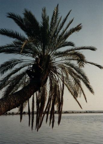 Siwa palm tree