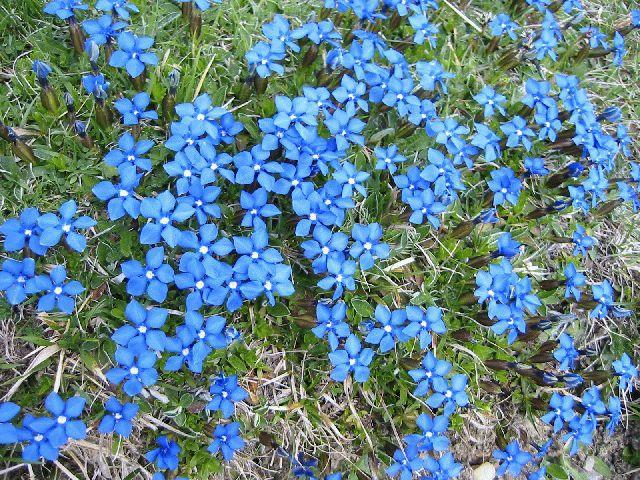 Blue flowers in Pyrenees