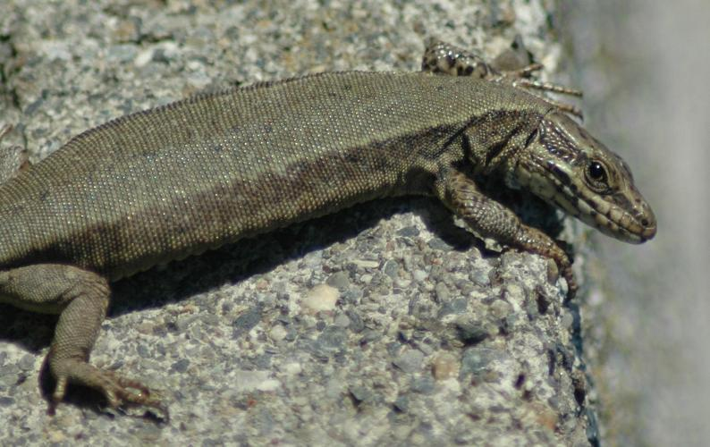 Enjoying the sunshine. Being poikilothermic, lizards need the warmth of the sun to keep alive.