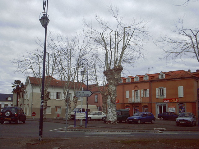 French plane trees